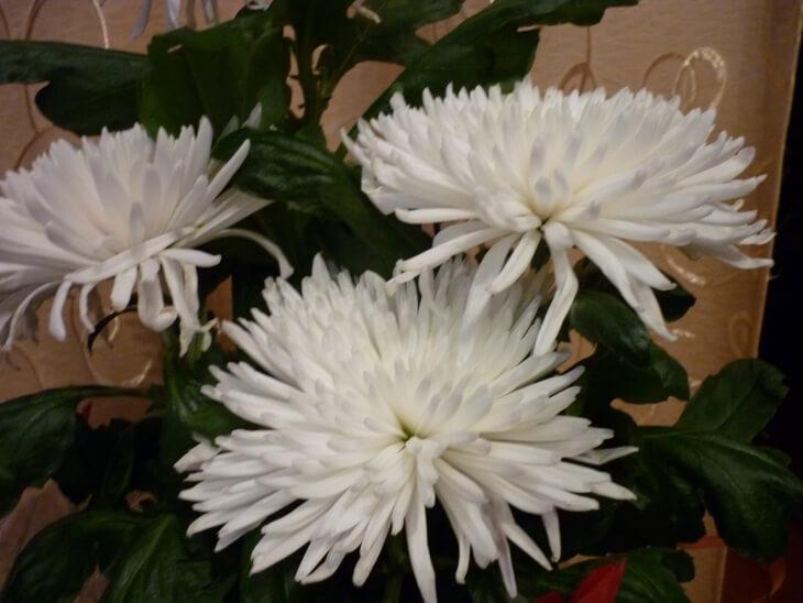 Лат. Chrysanthemum