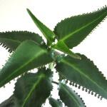 Каланхоэ: как поливать это лекарственное растение из семейства толстянковых
