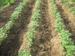 Подходящее место для посадки картофеля