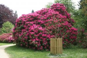 Садовая композиция из кустов рододендрона