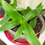 Выращивание в домашних условиях золотого уса: минимум хлопот и максимум пользы