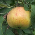 Яблоня Медуница: отзывы и рекомендации садоводов