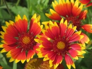 Пышное цветение гайлардии после удобрения