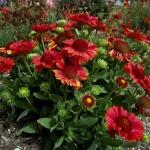 Пламенеющие угольки клумбы — цветок гайлардия: посадка и уход