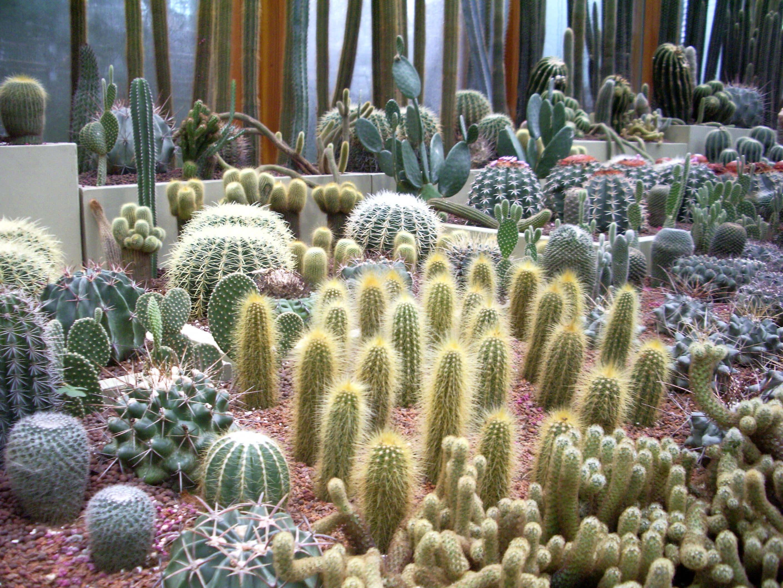 Виды домашних кактусов — самые популярные и малоизвестные растения