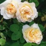 Понятие о зимостойких сортах роз: где, когда и что покупать
