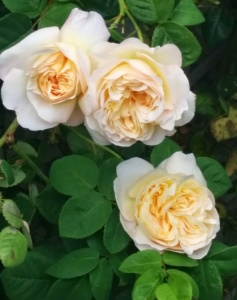 lemon-blush-rose