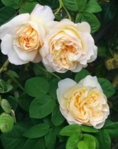 Один из сортов розы