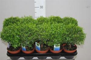 Миртовое дерево: как ухаживать, особенности, цветы, лекарственные свойства
