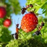 Борьба с муравьями на даче: в арсенале инсектициды и народные средства