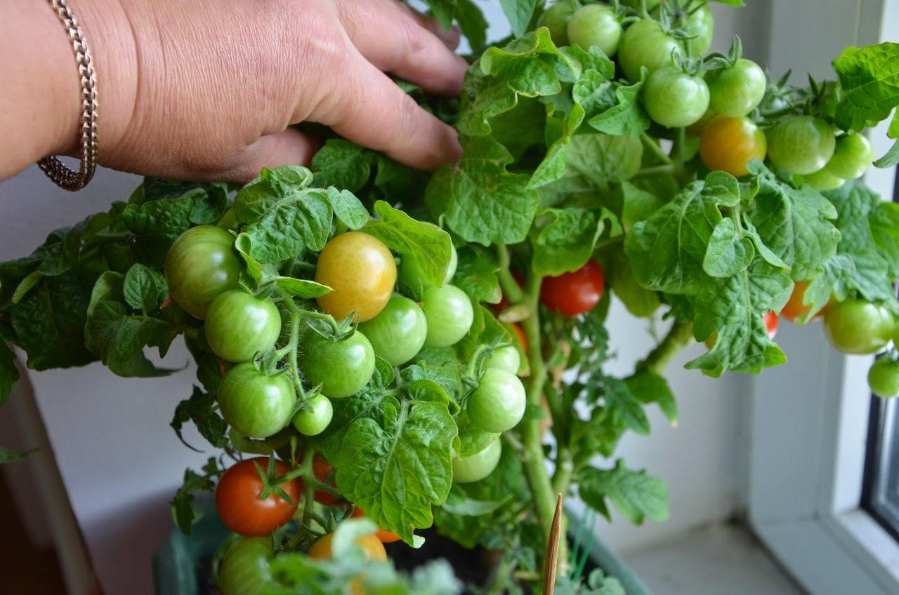 Сорт помидоров для домашнего выращивания 78
