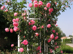 Плетистая роза лагуна для украшения построек