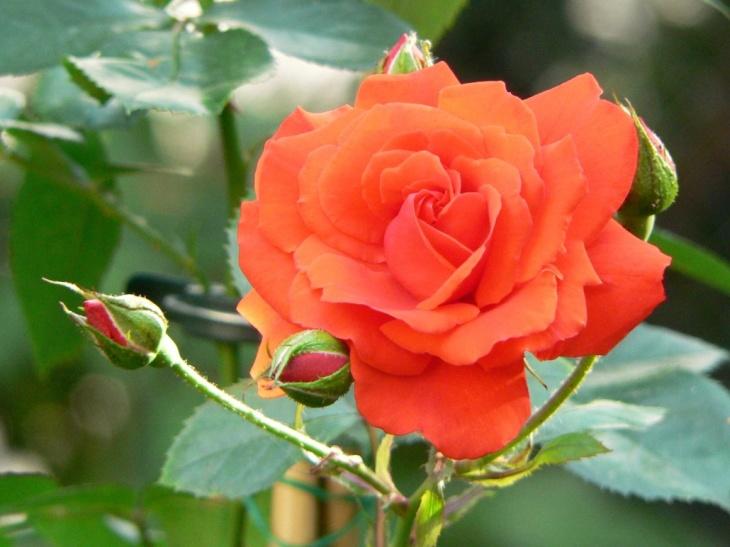 Пышное цветение розы