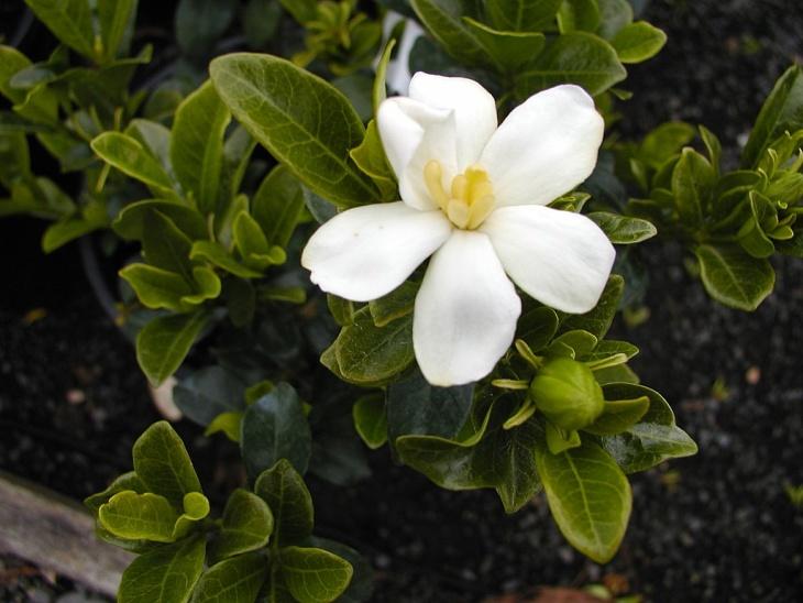 Лат. Gardenia
