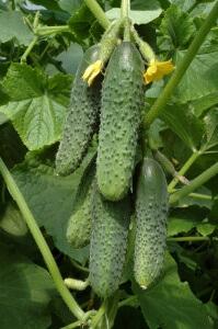 Урожай огурцов для засолки
