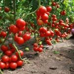 Наиболее выгодная схема посадки томатов в теплице