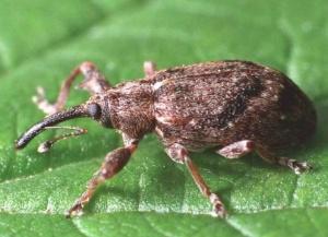 Лат. Anthonomus pomorum