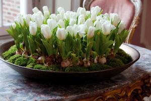 Цветение тюльпанов дома