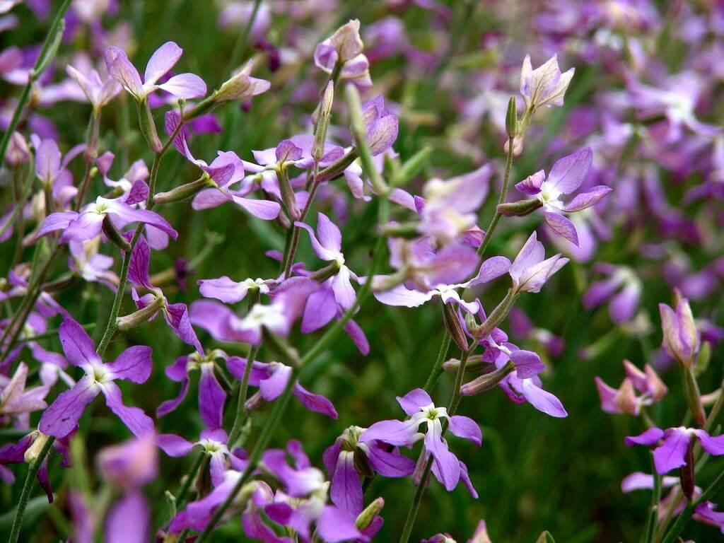 Основные сведения о растении Маттиола Вечерний аромат