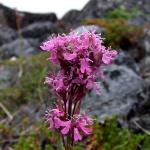 Лихнис альпийский: использование в ландшафтном дизайне и уход за растением