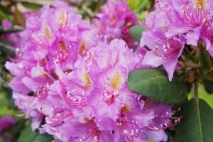 Цветение рододендрона катевбинского