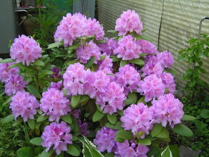 Лат. Rhododendron catawbiense