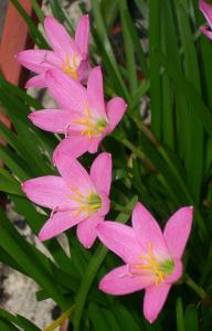 Лат. Zephyranthes rosea
