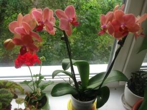 Росток орхидеи, который можно пересадить в подходящий горшок