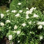 Спирея японская Широбана: рекомендации по уходу и выращиванию