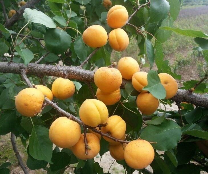 Веточки абрикоса, которые не стоит обрезать