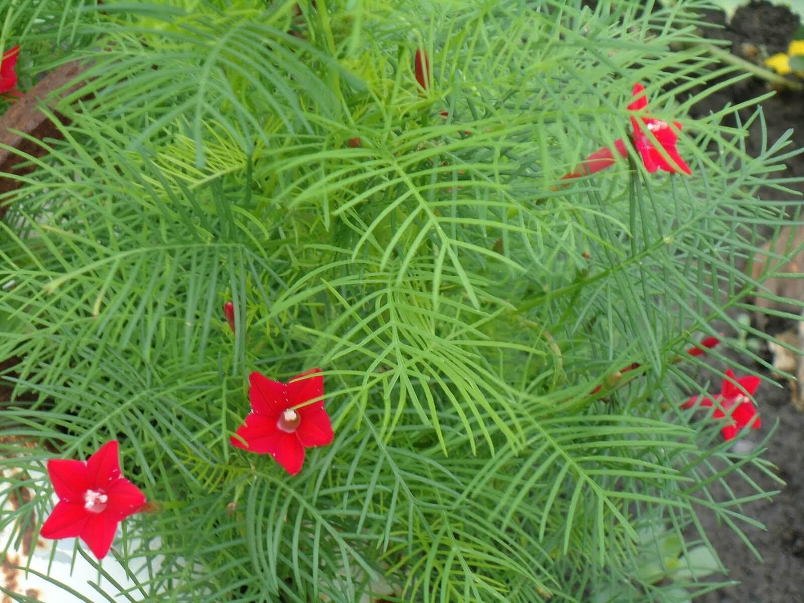 Вертикальное озеленение с помощью растения квамоклит перистый