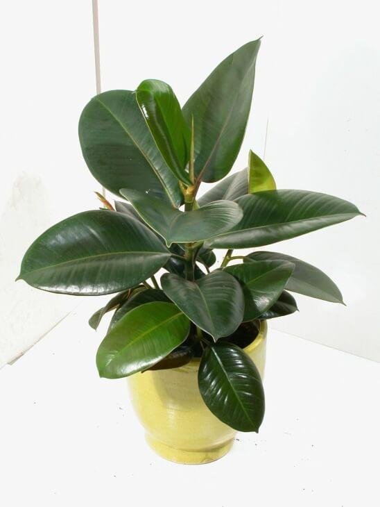 Лат. Ficus