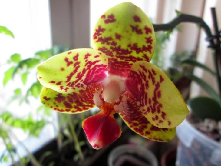 """Орхидея, размноженная с помощью """"детки"""""""