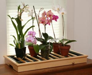 Орхидея: особенности растения, условия домашнего размножения