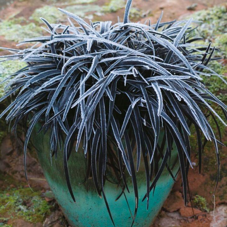 Лат. Ophiopogon