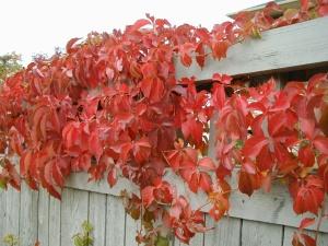 Дикий виноград на заборе как сажать