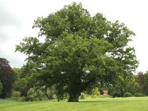 pedunculate-oak5