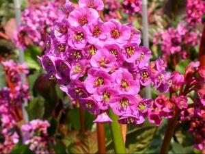 Прекрасное цветение бадана
