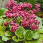 Цветок бадан: особенности посадки и ухода за многолетним растением