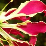 Глориоза Ротшильда: что это за цветок и как за ним ухаживать