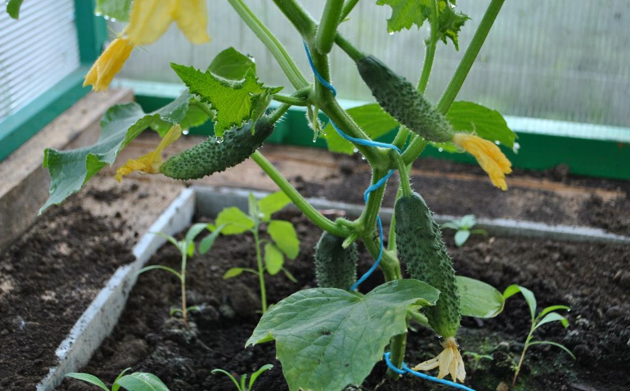 Как выращивать огурцы в теплице зимой — пошаговые рекомендации от выбора сорта до сбора урожая