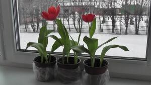 Лат. Tulipa