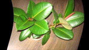 Фикус со здоровыми листочками