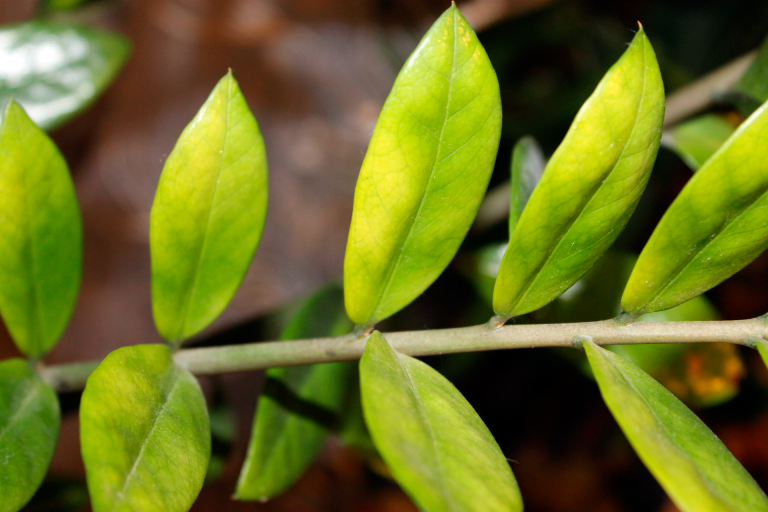Почему листья желтеют у замиокулькаса