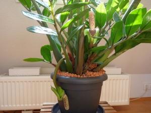 Замиокулькас: особенности ухода, почему иногда желтеют листья