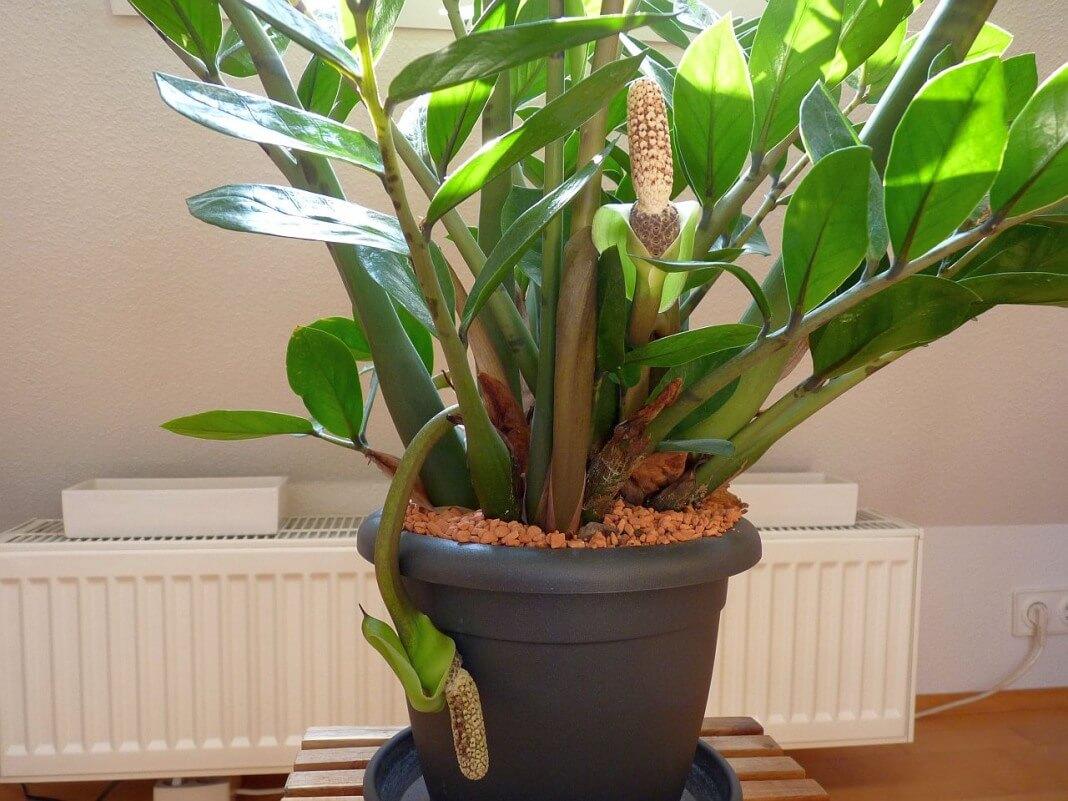 Замиокулькас — особенности ухода, почему иногда желтеют листья