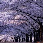 Павлония войлочная: рекомендации и правила выращивания