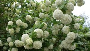 Пышное цветение декоративной калины