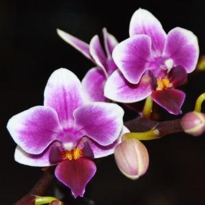 Орхидея, с обработанным субстратом