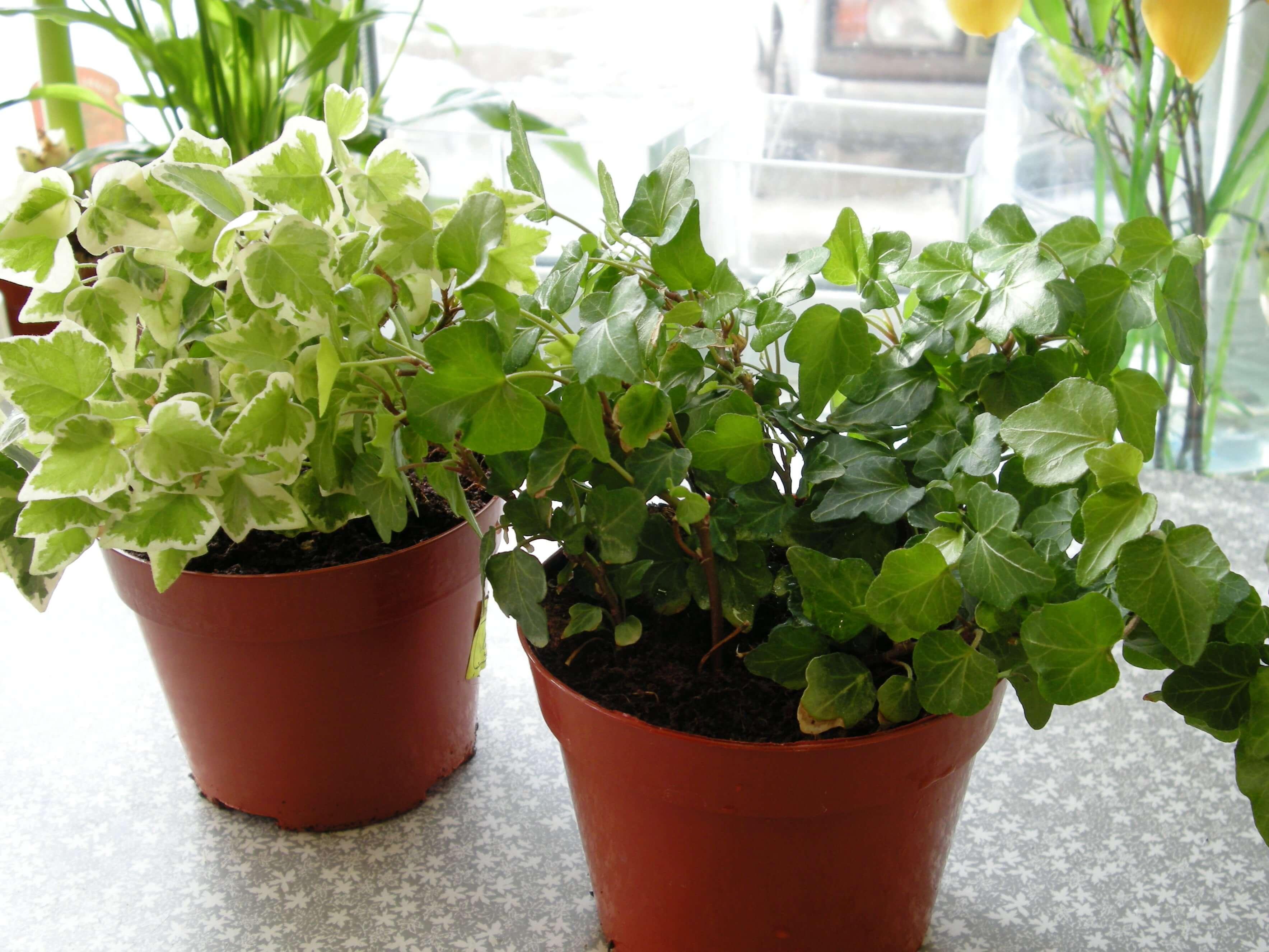 Плющ комнатный: описание растения, советы по уходу